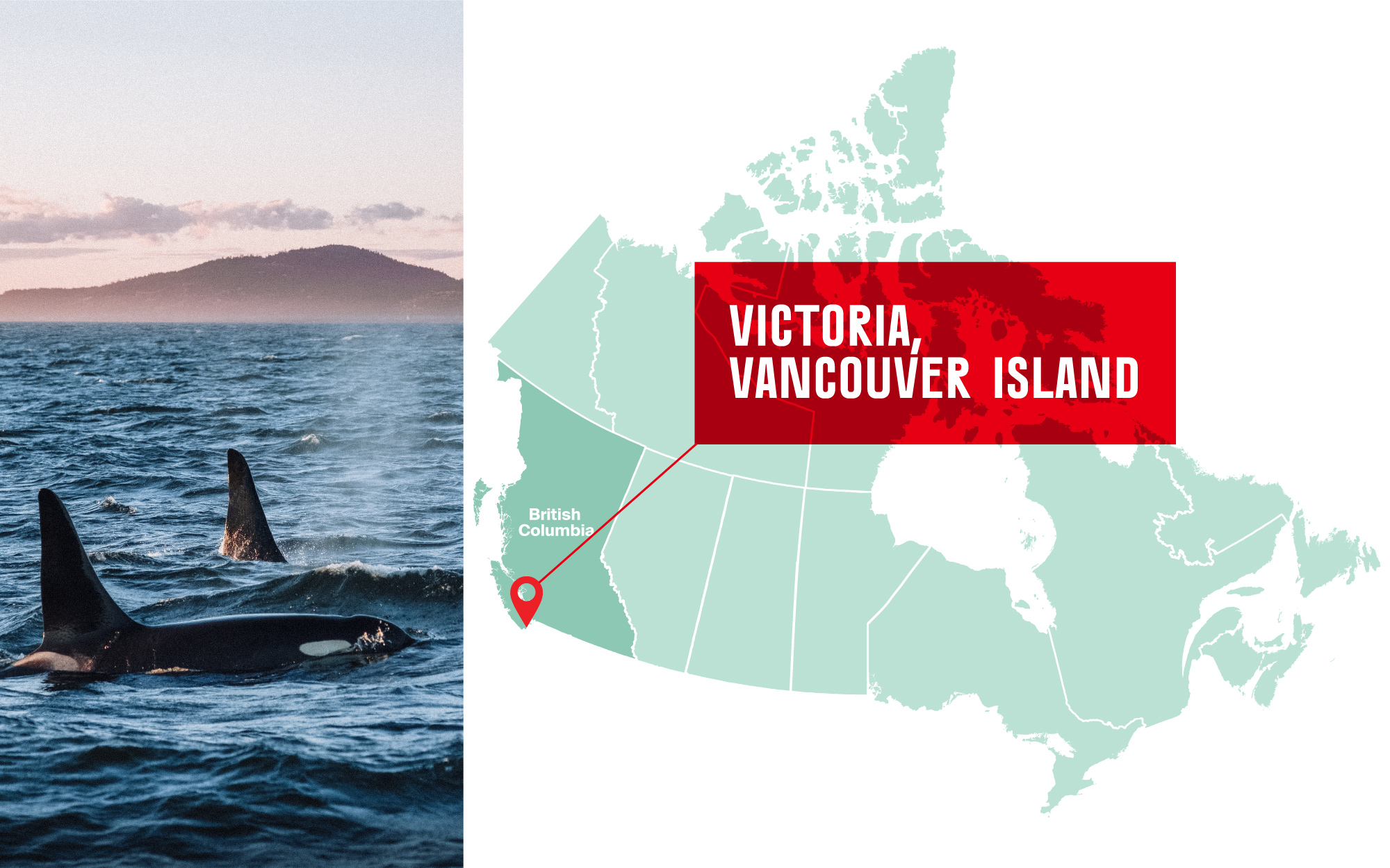 Orcas in the water in Victoria, British Columbia