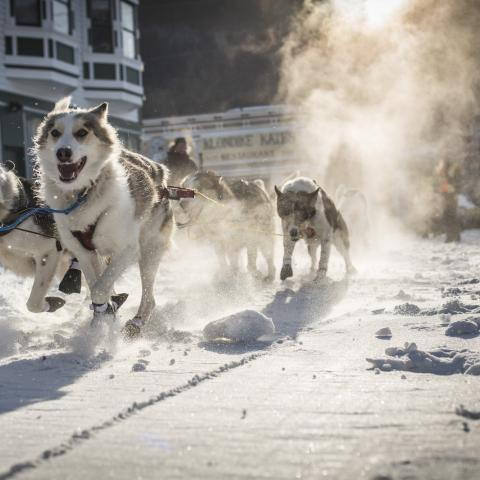 Dogsledding in the Yukon