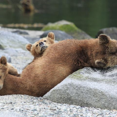 BC grizzly viewing