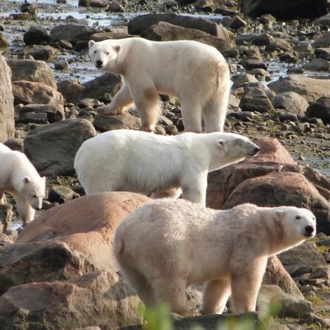 Churchill (Manitoba): Die Eisbären warten am Südrand der Hudson Bay darauf, dass die Bay zufriert und sie wieder auf Seehundjagd gehen können.