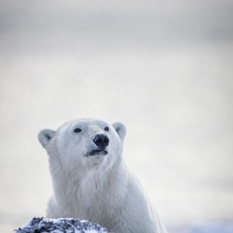 white polar bear in nunavut