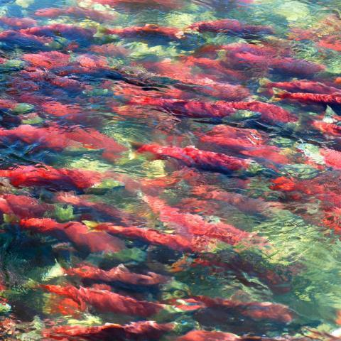 Schnorcheln mit Lachsen in Campbell River