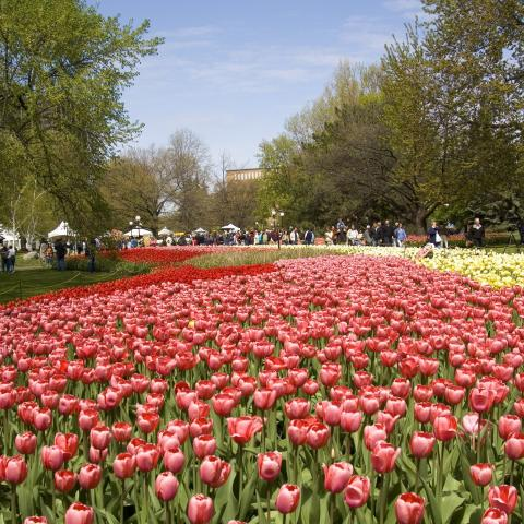 Canadian Tulip Festival, Ottawa