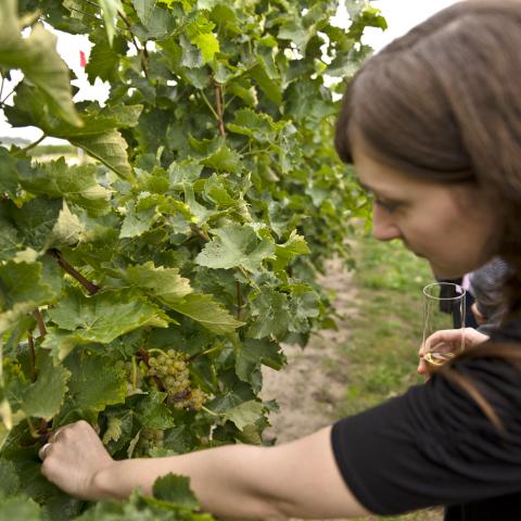 Vineyards in the Niagara Region, Ontario