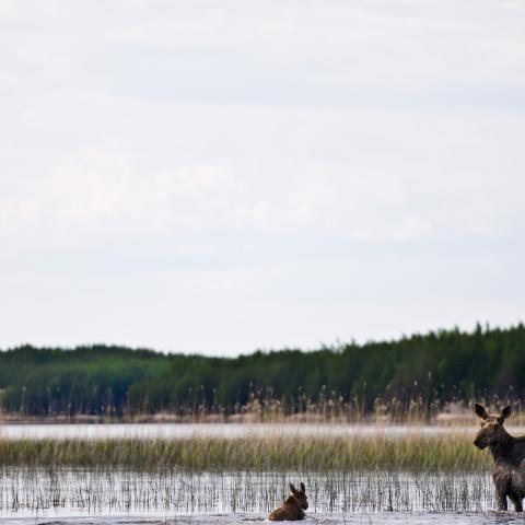 A Manitoba moose