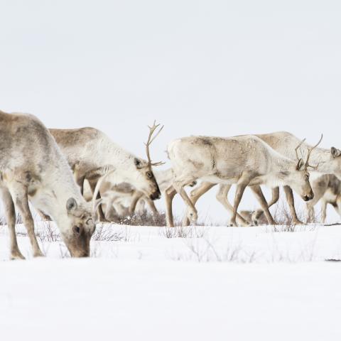Migration printanière du caribou au Nunavut
