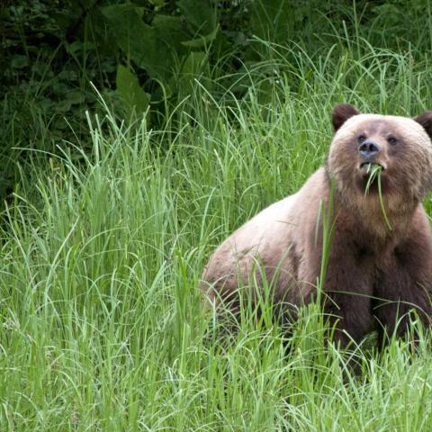 Bär-Begegnungen in British Columbia