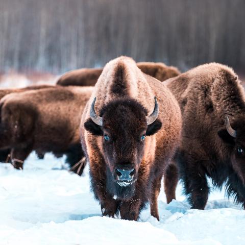Bison, Elk Island National Park, Edmonton, Alberta